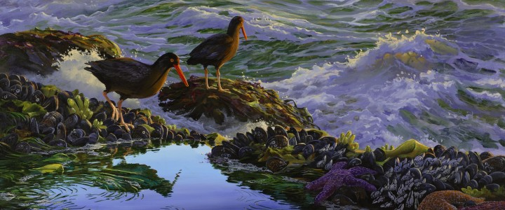 Oystercatchers: Stepping Cautiously - Giclees - Artwork Reproductions - Giclees, Paper Prints, Prints and Gift Store