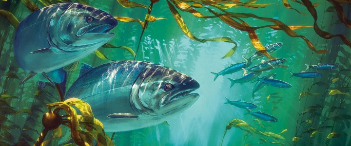 Coho Salmon: Patrolling the Kelp Bed I - Giclees - Artwork Reproductions - Giclees, Paper Prints, Prints and Gift Store