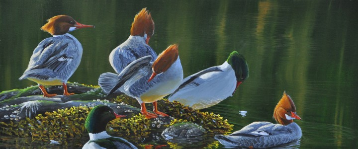 Common Mergansers: Fixing Feathers - Acrylics & Oils - Original Artwork - Acrylics, Oils & Watercolours