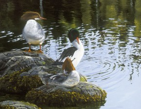 Common Merganser Ducks: Taking a Break
