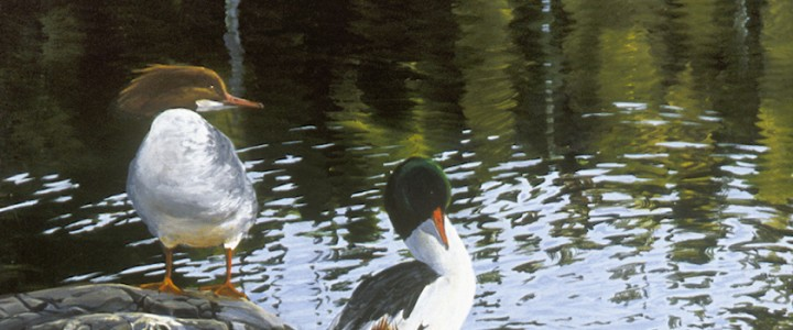 Common Merganser Ducks: Taking a Break - Giclees - Artwork Reproductions - Giclees, Paper Prints, Prints and Gift Store
