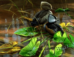 Hooded Mergansers Among Lily Pads