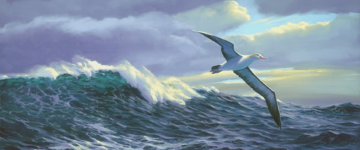 Short-Tailed Albatross - Giclees - Artwork Reproductions - Giclees, Paper Prints, Prints and Gift Store