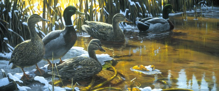 Mallards Looking South - Paper Prints - Artwork Reproductions - Giclees, Paper Prints, Prints and Gift Store