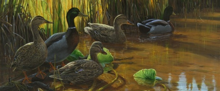 Mallard Ducks: On the Alert - Giclees - Artwork Reproductions - Giclees, Paper Prints, Prints and Gift Store