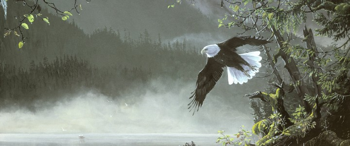 Bald Eagle: Morning Flight - Paper Prints - Artwork Reproductions - Giclees, Paper Prints, Prints and Gift Store