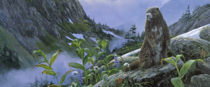Vancouver Island Marmot - Giclees - Artwork Reproductions - Giclees, Paper Prints, Prints and Gift Store