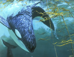 Orca Whales: Playing in the Kelp