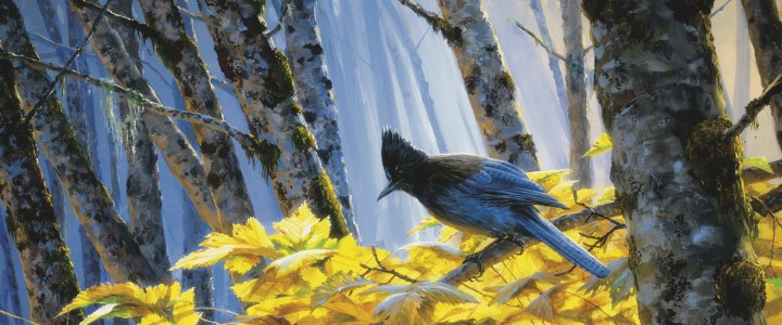 Steller's Jay: Among Alders - Giclees - Artwork Reproductions - Giclees, Paper Prints, Prints and Gift Store