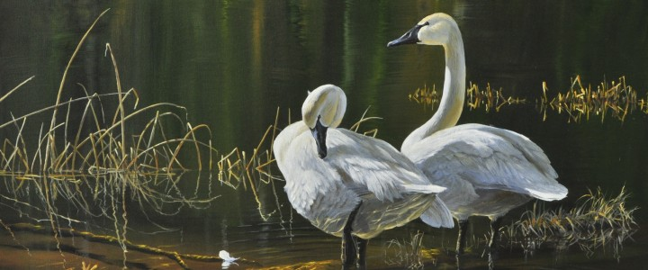 Trumpeter Swans: Preening Time - Acrylics & Oils - Original Artwork - Acrylics, Oils & Watercolours