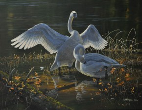 Trumpeter Swans: Autumn Morning