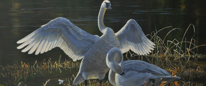Trumpeter Swans: Autumn Morning - Giclees - Artwork Reproductions - Giclees, Paper Prints, Prints and Gift Store