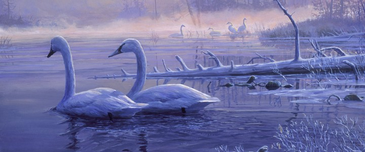 Trumpeter Swans: Winter Solitude - Giclees - Artwork Reproductions - Giclees, Paper Prints, Prints and Gift Store
