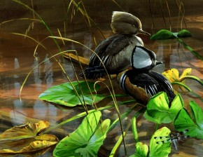 Hooded Merganser Ducks Among Lily Pads