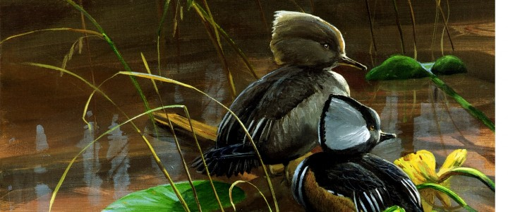 hooded mergansers among lily pads,art cards